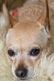 Regarder de chien de chiwawa Photographie stock