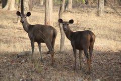 regarder de la vigilance en arrière de cerfs communs de sambher photo stock