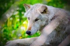 Regarder de loup Photos libres de droits