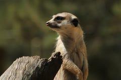 Regarder de Meerkat Photographie stock libre de droits