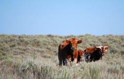 Regarder de vaches à Longhorn images stock