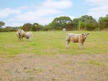 Regarder de vaches et un lait boisson fixement de veau Images libres de droits