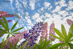 Regarder des lupins Images stock