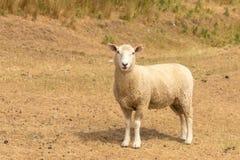 Regarder des moutons de bébé sur le verre sec photographie stock libre de droits