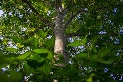Regarder directement l'arbre de bouleau images stock