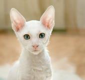 Regarder du chaton blanc images libres de droits