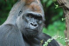 Regarder en bas fixement d'un gorille de Silverback Image libre de droits