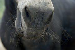 Regarder en bas fixement du nez d'un cheval avec des favoris photographie stock