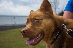 Regarder fou de chien d'oeil image stock