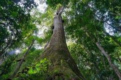 Regarder l'arbre tropical géant dans la forêt tropicale Photos libres de droits