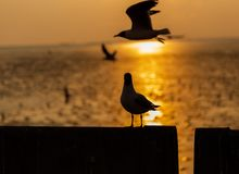 Regarder l'oiseau la mer dans le coucher du soleil photos stock