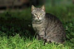 Regarder le chat fixement tigré Photographie stock