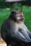 Regarder macaque longtemps fixement suivi Image stock