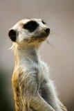 Regarder sale mignon de Meerkat de bouche Images stock