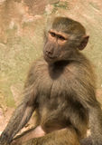 Regarder se reposant de babouin Photo libre de droits