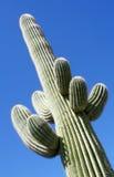 Regarder vers le haut un cactus de Saguaro Photos libres de droits