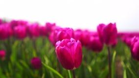 Regardez étroitement les oscillations roses de tulipes dans le vent dans le domaine coloré de tulipe banque de vidéos