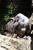 Regardez du griffon un prédateur Image libre de droits