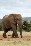 Regardez l'éléphant énorme de Bush d'Africain images libres de droits