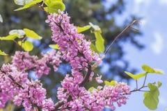 Regardez la branche rose lumineuse de Judas Tree brouillée par fond de paysage Images libres de droits