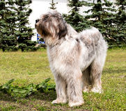 Regards de Briard Image stock
