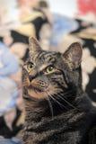 Regards de chat tigré Images libres de droits