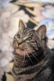 Regards de chat tigré Photographie stock libre de droits