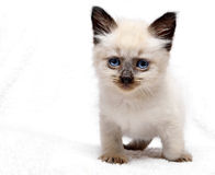 Regards de chaton Photos libres de droits