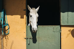 Regards de cheval blanc Images libres de droits