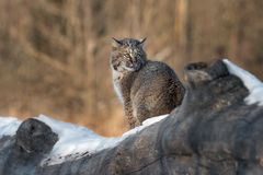 Regards de rufus de Bobcat Lynx de retour au-dessus de l'épaule Photos stock
