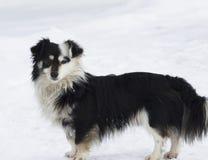 Regards fixes noirs et blancs de chien Images stock
