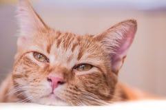 Regards mignons et somnolents de chat en dehors d'insouciant au sujet de la caméra image libre de droits