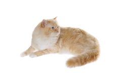 Regdoll cat Royalty Free Stock Photo