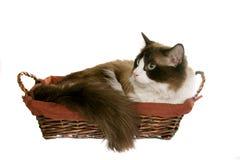 Regdoll cat Royalty Free Stock Photography