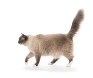 Regdoll cat walking isolated Royalty Free Stock Photos