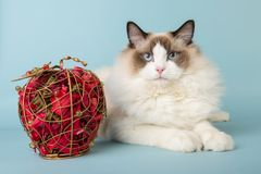 Regdoll male cat looking at camera. On blue background Royalty Free Stock Image