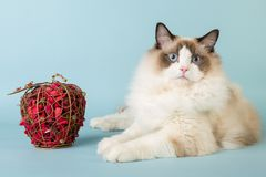 Regdoll male cat looking at camera. On blue background Stock Photo