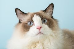 Regdoll male cat looking at camera. Surprised Royalty Free Stock Photography