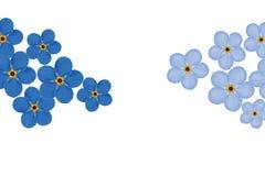 Regeling van blauwe geïsoleerdev vergeet-mij-nietjebloemen Stock Afbeeldingen