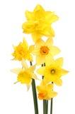 Regeling van gele narcissen stock afbeelding