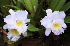 Regeling van grote witte orchideebloem Stock Afbeeldingen