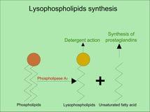 Regeling van lysophospholipidssynthese Royalty-vrije Stock Foto's