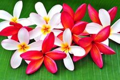 Regeling van mooie frangipani Royalty-vrije Stock Fotografie