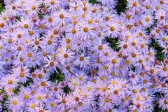 Regeling 2 van Violett gele bloemen Stock Foto