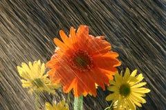 Regen auf Blumen Stockfotografie