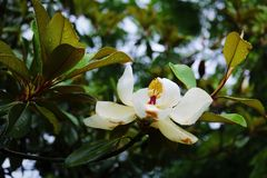 Regen auf dem Magnolien-Baum Lizenzfreies Stockfoto
