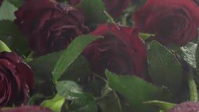 Regen auf Hintergrund von roten Rosen mit Wasserrückgangszeitlupeaktien-Gesamtlängenvideo stock video