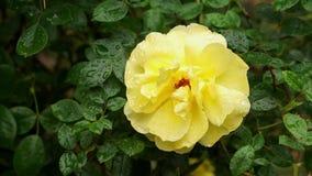 Regen, der auf gelbe Rosen-Blume - nahes hohes fällt stock footage