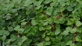 Â-Regen, der auf Kiwifruit-Obstgarten fällt Ton des Regens stock video