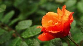 Regen, der auf weiße wilde Rosen-Blumen - nahes hohes fällt stock video